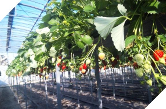 つねずみ苺園