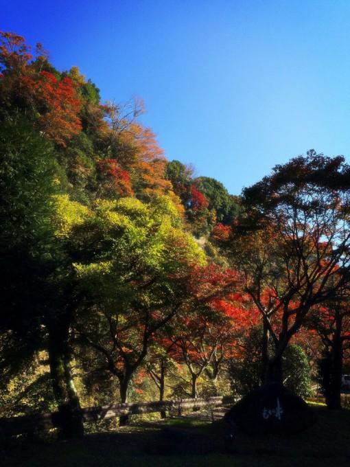 もちの木の紅葉